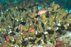 Cirrhitichthys oxycephalus